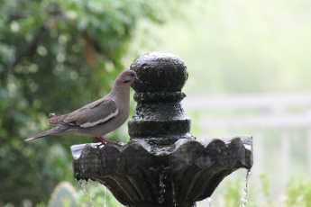 Just like the white winged dove...
