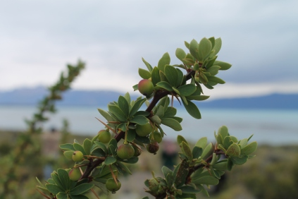 El Calafate - a plant with purple berries and yellow flowers, said to make you come back if you eat it.