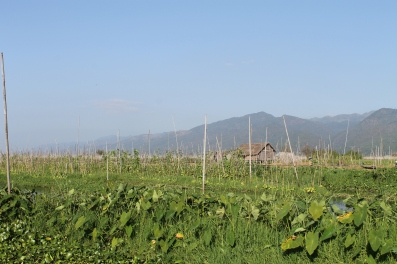 Floating gardens of Inle - mostly tomatoes and beans