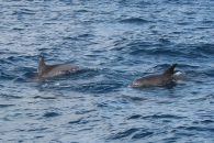 Dolphins of dhow bow.