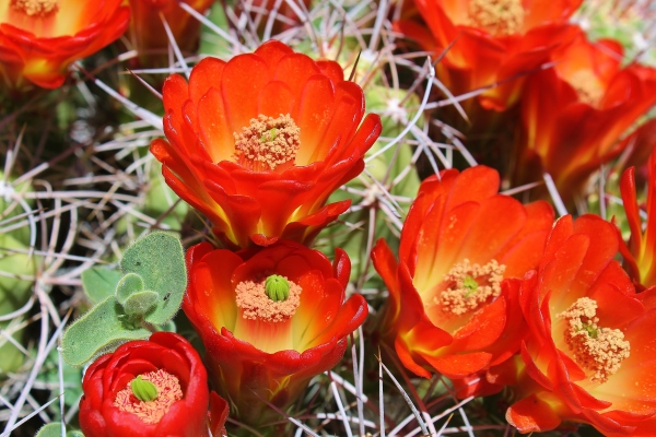 Cactusbloom2